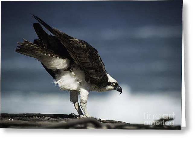 Osprey Ready For Takeoff Greeting Card by Richard Mason
