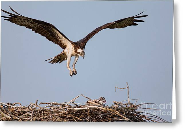 Osprey Returning To Nest Greeting Card by Jerry Fornarotto