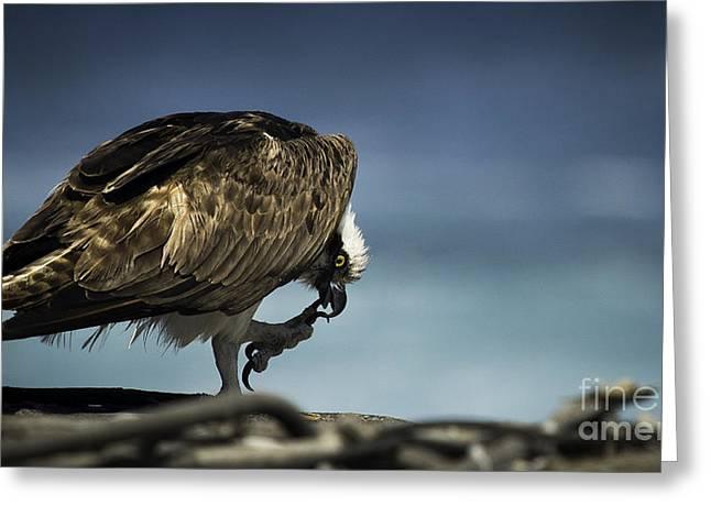 Osprey Scratchin' Greeting Card by Richard Mason