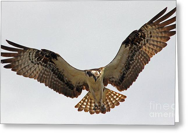 Osprey Spread Greeting Card