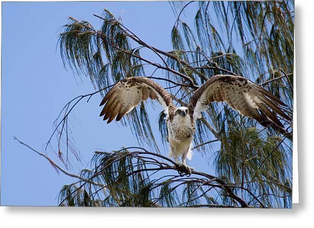 Osprey Take Off Greeting Card