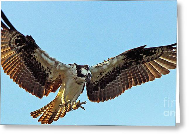 Osprey Talons First Greeting Card