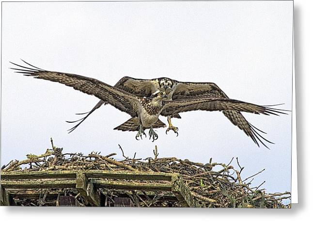 Osprey Wings And Talons Greeting Card by Constantine Gregory