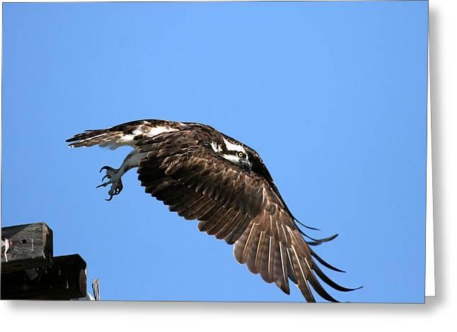 Osprey Wings Forward Greeting Card by Darrin Aldridge
