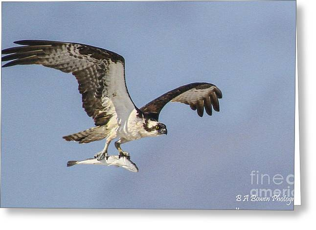 Osprey With Dinner Greeting Card