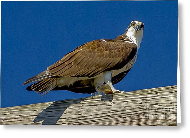 Greeting Card featuring the photograph Osprey With Fish In Talons by Dale Powell