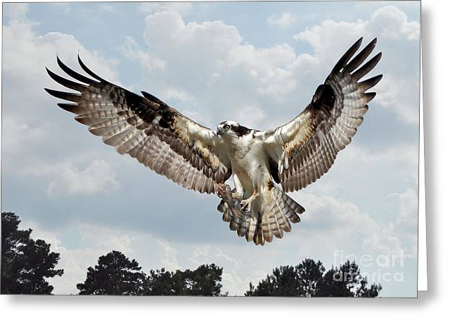 Osprey With Fish In Talons Greeting Card