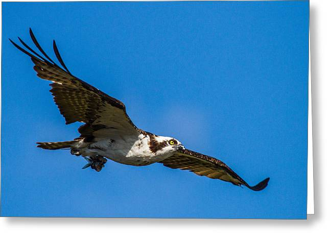 Osprey With Its Little Pray Greeting Card by Andres Leon