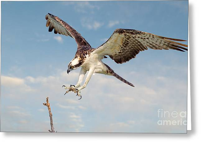 Osprey With Talons Extended Greeting Card by Jerry Fornarotto