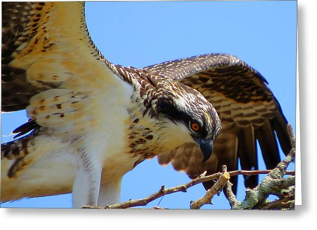 Greeting Card featuring the photograph Osprey Youth by Dianne Cowen
