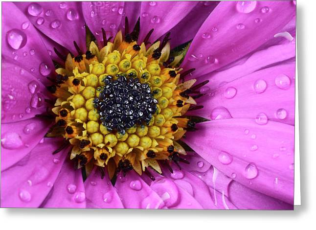 Osteospermum Centre Abstract Greeting Card by Nigel Downer