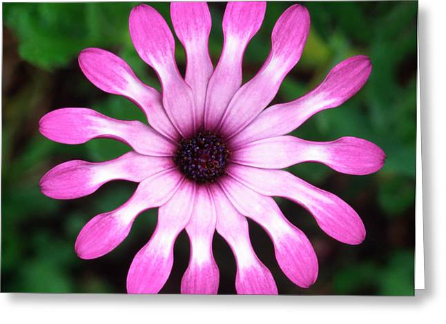 Osteospermum 'whiligig' Abstract Greeting Card by Nigel Downer