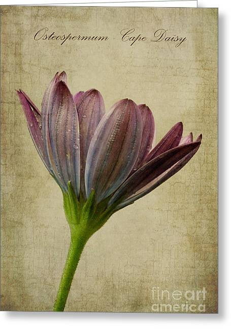 Osteospermum With Textures Greeting Card by John Edwards
