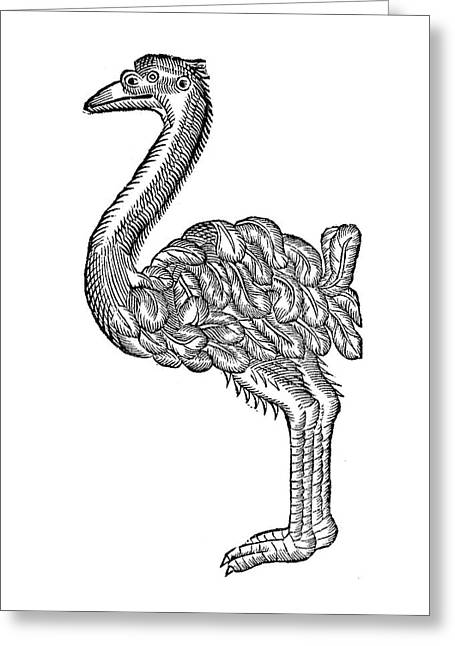 Ostrich, 16th Century Greeting Card