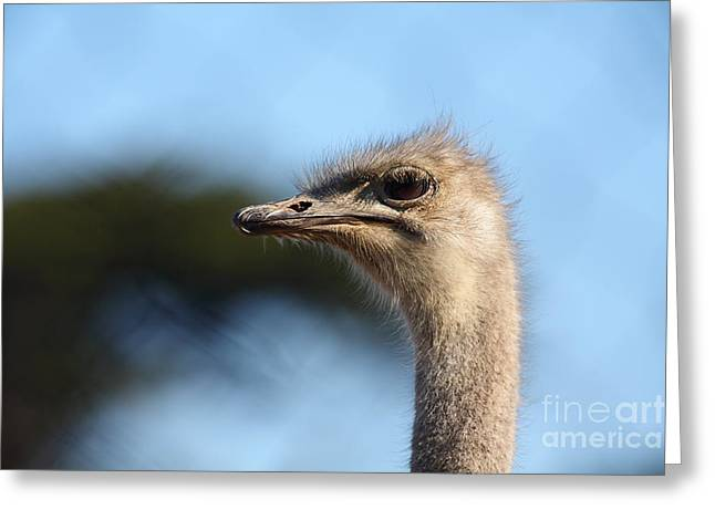 Ostrich 5d27027 Greeting Card by Wingsdomain Art and Photography