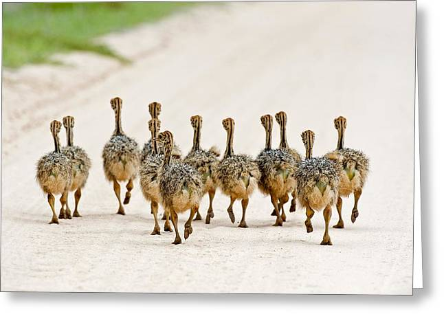 Ostrich Chicks Greeting Card by Science Photo Library