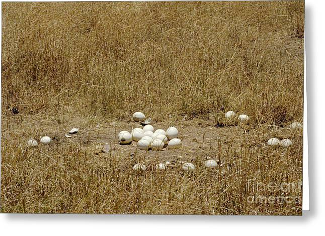 Ostrich Eggs At Nest Site Greeting Card by Gregory G. Dimijian, M.D.