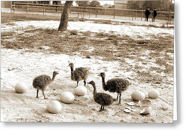 Ostrich Farm, Hot Springs, Ark, Ostriches Greeting Card by Litz Collection