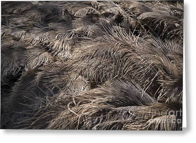 Ostrich Feathers  Greeting Card by Douglas Barnard