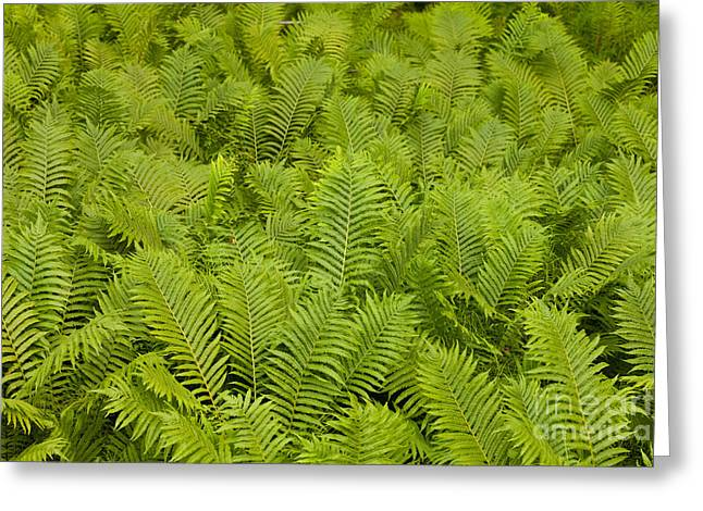 Ostrich Fern Matteuccia Struthiopteris Background Greeting Card by Stephan Pietzko