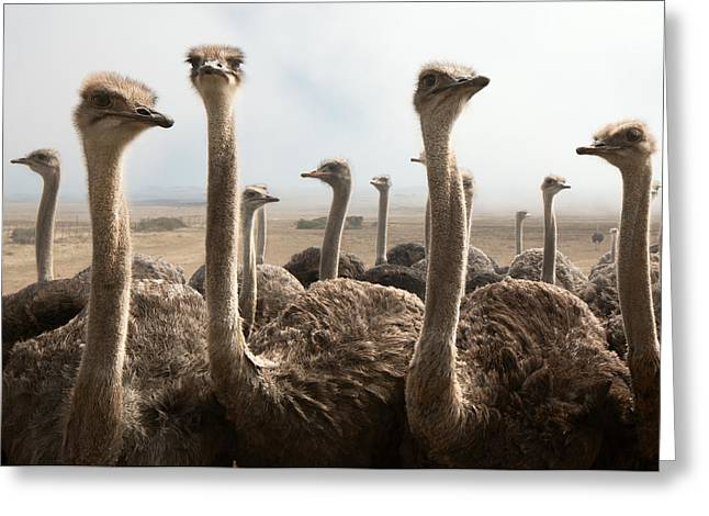 Ostrich Heads Greeting Card by Johan Swanepoel
