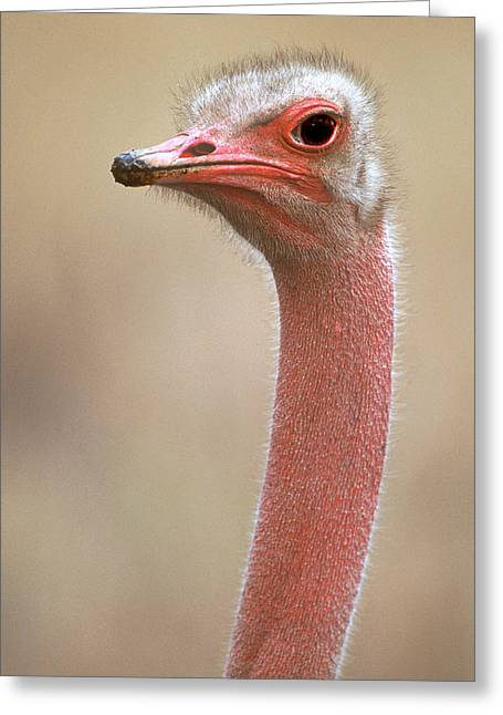 Ostrich Kenya Africa Greeting Card by Panoramic Images