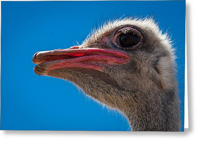 Ostrich Profile Greeting Card by Jean Noren
