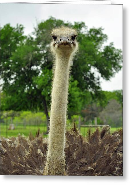 Ostrich Says What Greeting Card by Cherie Haines
