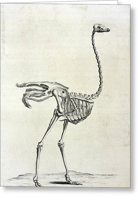 Ostrich Skeleton Greeting Card