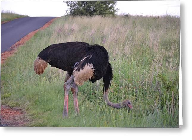 Ostrich Greeting Card by Steve Arnold