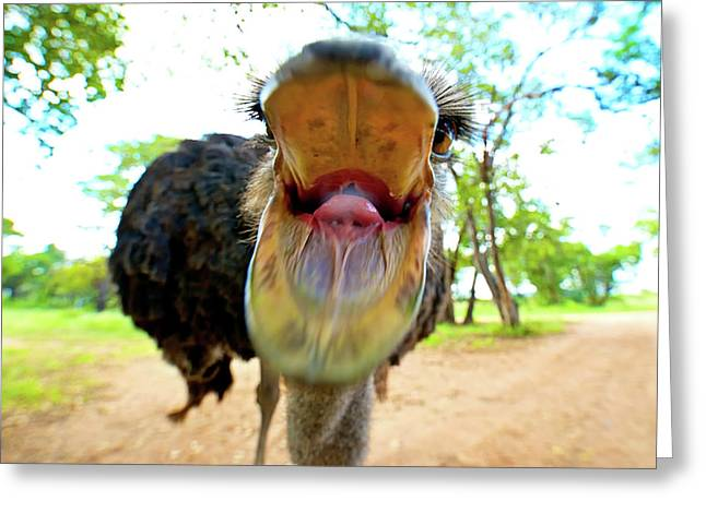 Ostrich Struthio Camelus Australis Greeting Card by Shannon Benson