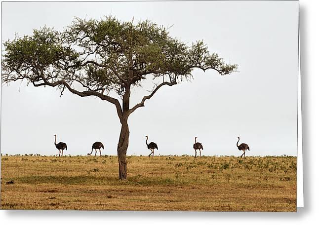 Ostrich Walk Greeting Card by Joe Bonita