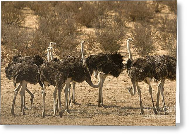 Ostriches Greeting Card by Bob Gibbons