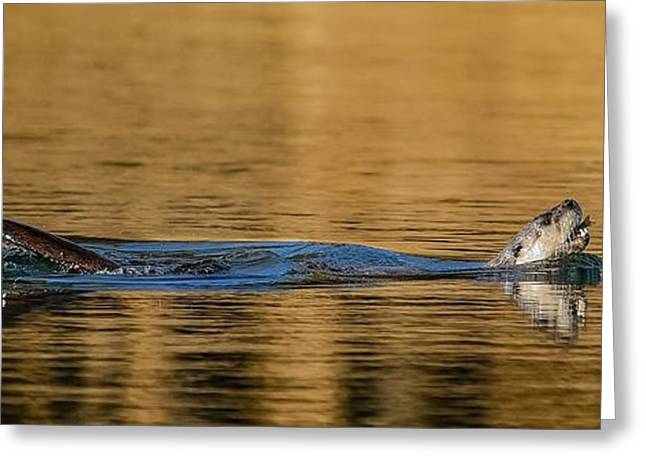 Greeting Card featuring the photograph Otter Catch by Yeates Photography