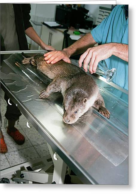Otter (lutra Lutra) Research Greeting Card