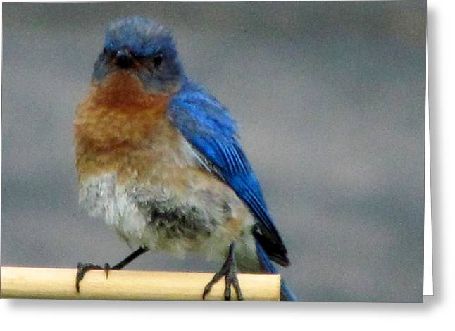 Our Own Mad Bluebird Greeting Card by Betty Pieper