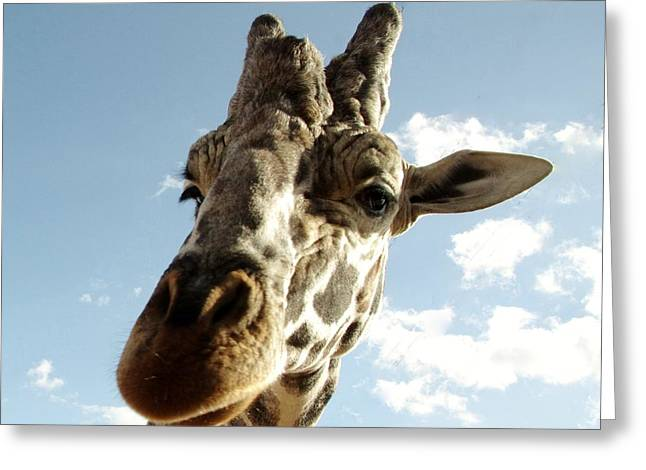 Out Of Africa  Reticulated Giraffe Greeting Card