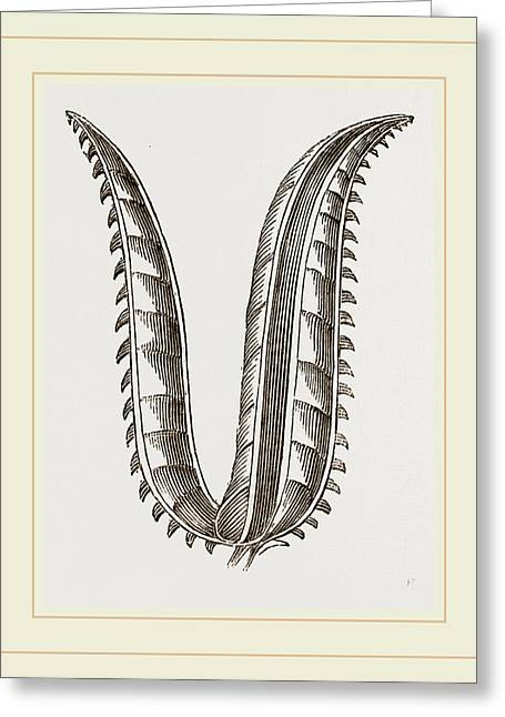 Ovipositor Of Saw-fly Greeting Card by Litz Collection