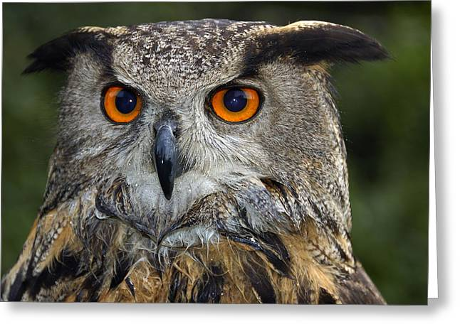 Owl Bubo Bubo Portrait Greeting Card