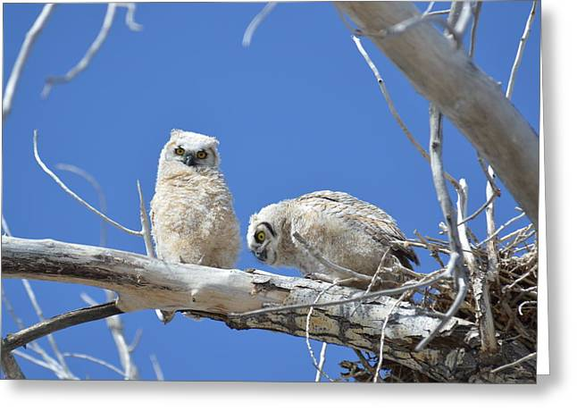 Owlets In White Greeting Card