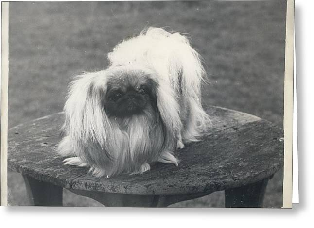 Owner- Refuses £10,500 Offer For Pekinese Greeting Card by Retro Images Archive
