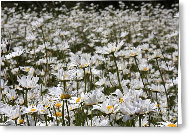 Ox Eye Daisies Greeting Card