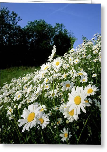 Ox-eye Daisies (leucanthemum Vulgare) Greeting Card