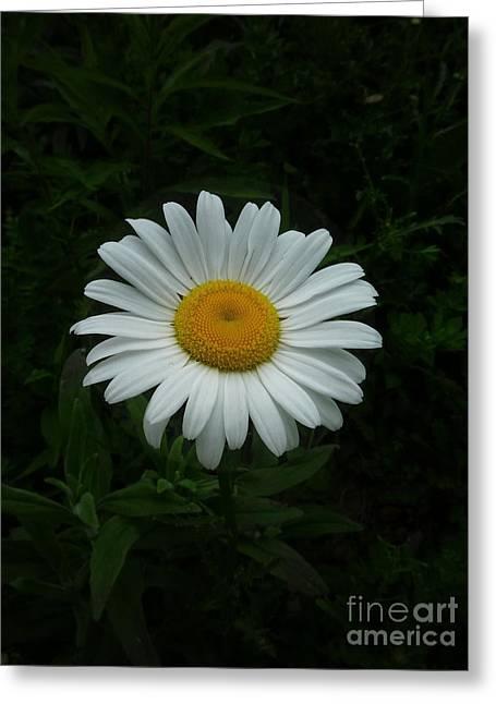Ox-eyed Daisy Greeting Card