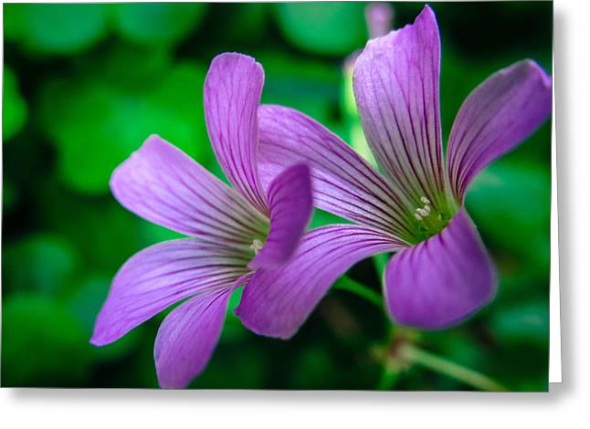 Oxalis II Greeting Card by Stacy Michelle Smith