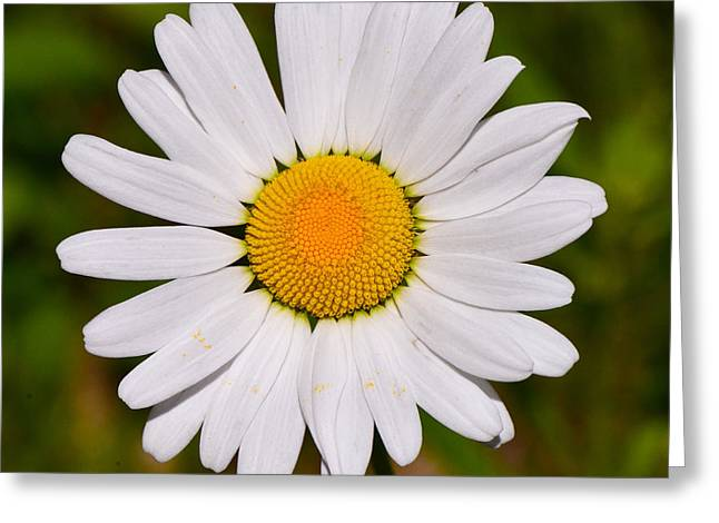 Oxeye Daisy Greeting Card