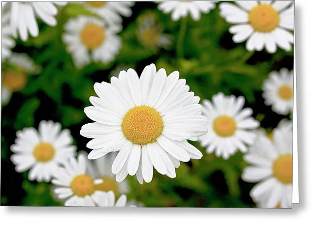 Oxeye Daisy (leucanthemum Vulgare) Greeting Card