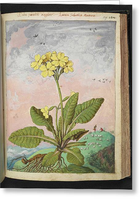 Oxlip (primula Elatior) Greeting Card