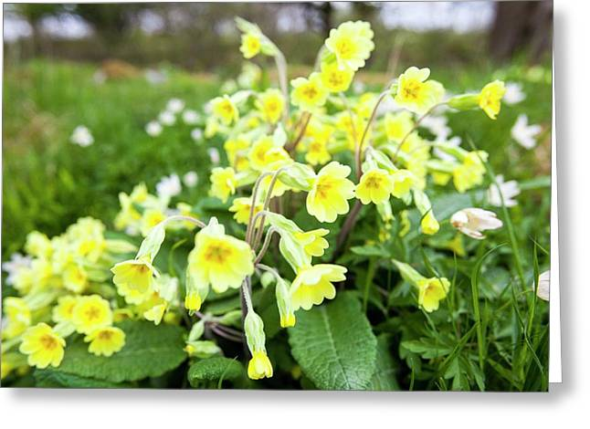 Oxlips Growing In Oxenber Woods Greeting Card
