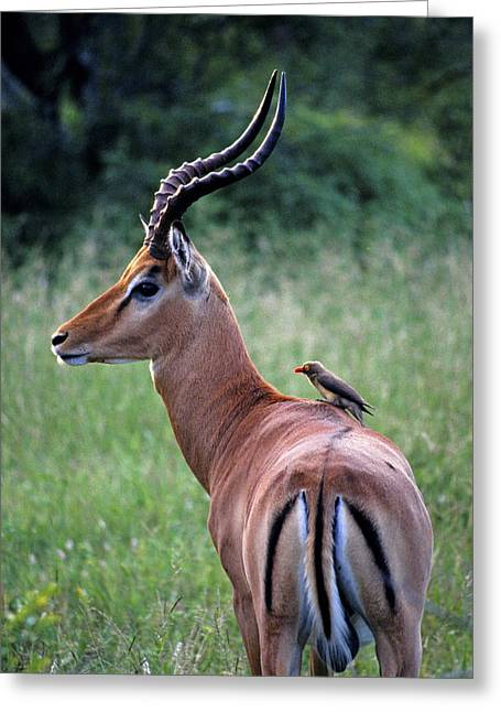 Greeting Card featuring the photograph Oxpecker And Impala by Dennis Cox WorldViews